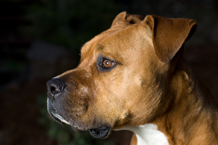 American_Staffordshire_Terrier_Face_Side