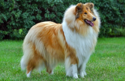 collie fuzzy
